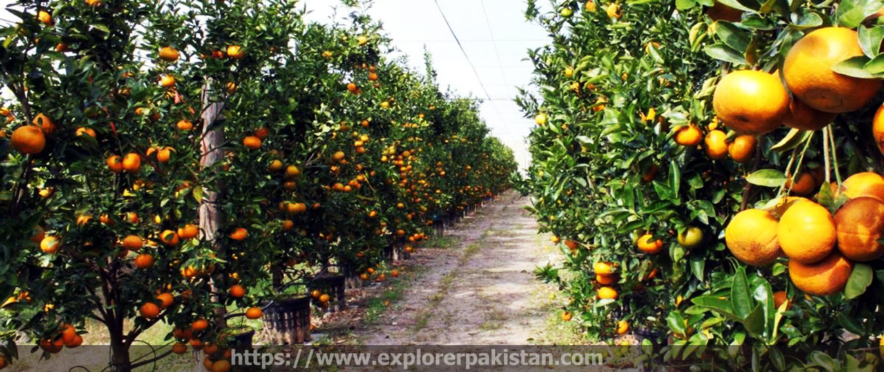 Citrus Fields