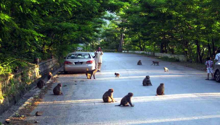 Nathia Gali Monkeys